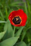 Frische Tulpe-flache Tiefe Stockfoto