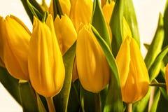 Frische Tulpen Lizenzfreies Stockfoto