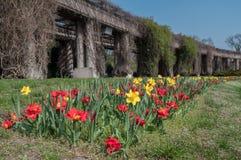 Frische Tulpen des Vorfrühlings auf grünem Gras stockfotos