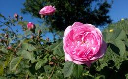 Frische und Aroma eines Frühlingsscharlachrots Rose morgens Lizenzfreie Stockfotografie