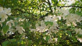 Frische und Blühen Blühende Niederlassung des Apfels in den Strahlen des Frühlingsabends der untergehenden Sonne stock video
