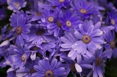 frische und energische purpurrote Chrysantheme Stockfoto