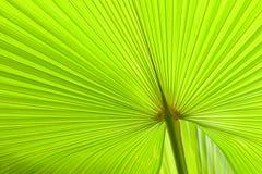 Frische und grüne Palmblätter Stockfotografie