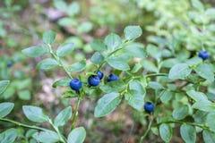 Frische und köstliche wilde Blaubeeren Stockbilder