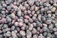 Frische ungewaschene Kartoffeln Stockfotografie