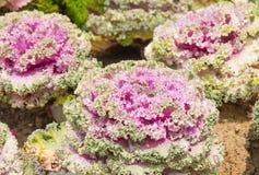 Frische violette Pflanzenblätter des Kohls (Brassica Oleracea) Stockbild