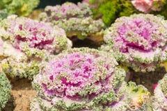 Frische violette Pflanzenblätter des Kohls (Brassica Oleracea) Lizenzfreie Stockbilder