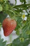 Frische wachsende Erdbeere Lizenzfreies Stockbild