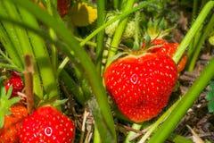 Frische wachsende reife Erdbeeren bereit zu aufheben Stockfotografie