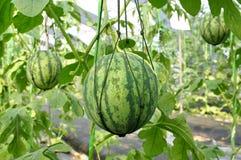 Frische Wassermelone, die mit Masche hängt Lizenzfreie Stockfotografie