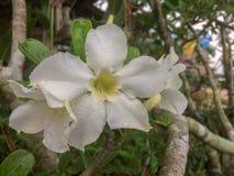 Frische weiße Azalee blüht auf Baum mit Regentropfen lizenzfreies stockfoto