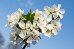 Frische weiße Blume Stockfotografie