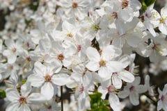 Frische weiße Blumen des Kirschbaums Stockbild