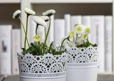 Frische weiße Gänseblümchen in der Bibliothek Stockfotografie