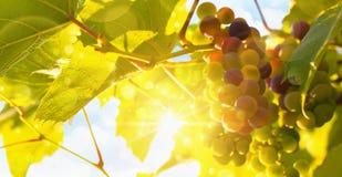 Frische Weinrebe im hellen Sonnenschein Lizenzfreies Stockbild
