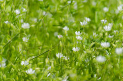 Frische Wiese mit kleinen weißen Blumen und Insekten Stockbild