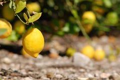 Frische Zitronen, die am Zitronenbaum hängen Lizenzfreie Stockfotos