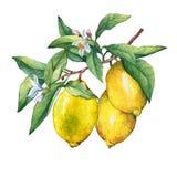 Frische Zitrusfruchtzitrone auf einer Niederlassung mit Früchten, grünen Blättern, den Knospen und den Blumen Stockfotos