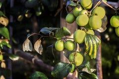 Frischer Affeapfel auf Baum auf dem Landwirtschaftsgebiet Stockbilder