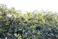 Frischer Affeapfel auf Baum auf dem Landwirtschaftsgebiet Stockfotos