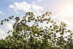 Frischer Affeapfel auf Baum auf dem Landwirtschaftsgebiet Lizenzfreie Stockfotos