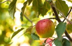 Frischer Apfel im Baum stockfoto