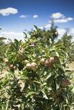 Frischer Apfel vom Obstgarten Lizenzfreies Stockfoto
