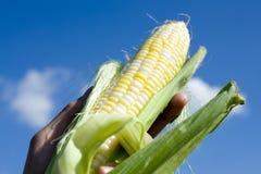 Frischer ausgewählter Mais stockbilder