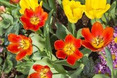 Frischer blühender Garten der Tulpen im Frühjahr Stockbild
