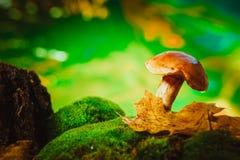 Frischer brauner Kappenboletuspilz auf Moos Lizenzfreie Stockbilder