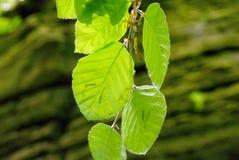 Frischer Buchenbaum verlässt im Wald im Frühjahr Lizenzfreie Stockbilder