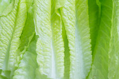 Frischer Cos Lettuce Leaves Lizenzfreies Stockfoto