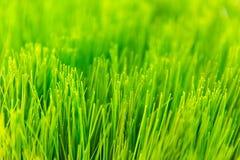 Frischer cutted Feld des grünen Grases Reis Lizenzfreies Stockbild
