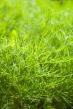 Frischer Dill herb.close oben Stockfotos