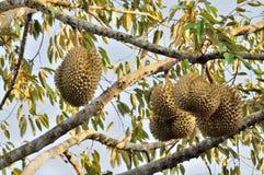 Frischer Durian auf Baum stockbild