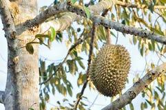 Frischer Durian auf Baum stockfotos