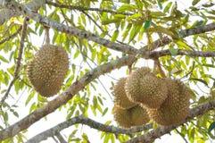 Frischer Durian auf Baum stockbilder