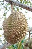 Frischer Durian auf Baum stockfotografie