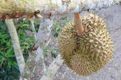 Frischer Durian auf Baum stockfoto
