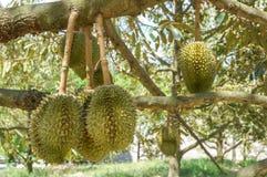 Frischer Durian auf Baum im Obstgarten bei Thailand, der Durian ist ein König der Frucht Lizenzfreies Stockfoto