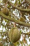 Frischer Durian auf Durianbaum Stockfotos