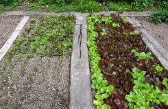 Frischer eco Kopfsalatgarten Lizenzfreie Stockbilder