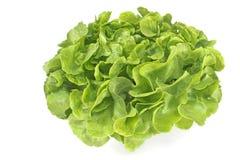 Frischer Eiche Blatt-Kopfsalat Stockfoto