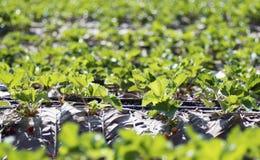Frischer Erdbeerbauernhof bei Chiangmai Thailand Lizenzfreies Stockfoto