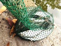 Frischer Fang des Milchfisches auf einem Teich stockfoto