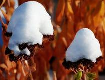 Frischer früher Schnee auf Herbstfreude lizenzfreies stockfoto