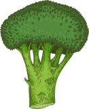 Frischer ganzer grüner Brokkoli Stockfoto