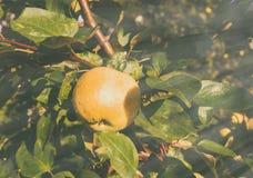 Frischer gelber Apfel Stockfotos