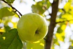 Frischer grüner Apfel auf einer Baumnahaufnahme Stockfotos