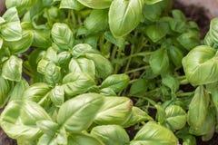 Frischer grüner Basilikum als Mittelmeergewürzpflanze stockfotos